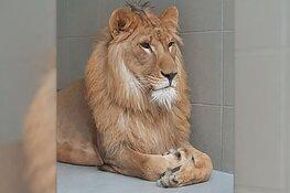 Verwaarloosde leeuw Simba is eerste nacht in opvang goed doorgekomen