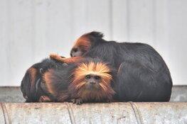 Über-schattige leeuwenkop-aapjes geboren in Landgoed Hoenderdaell