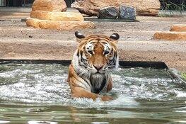 Verdrietig: voormalige circus-tijger Cita in Stichting Leeuw ingeslapen